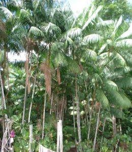 Acai uogų palmė